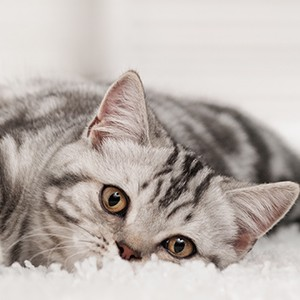 how to clean cat puke from carpet